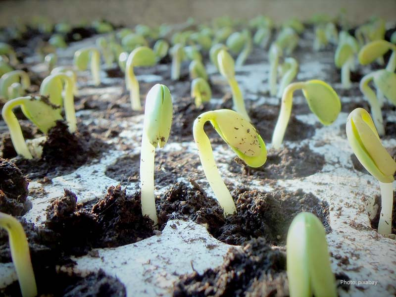 Soybeans sprouts