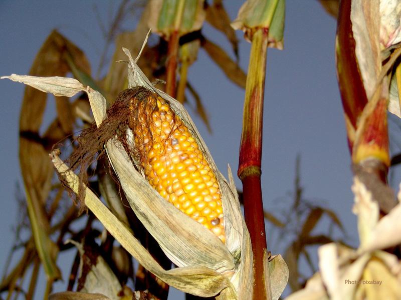 Corn in harvesting time